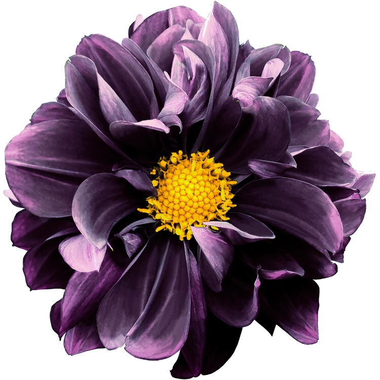 Deep Purple Dahlia