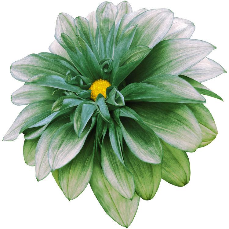 Sage Green Dahlia