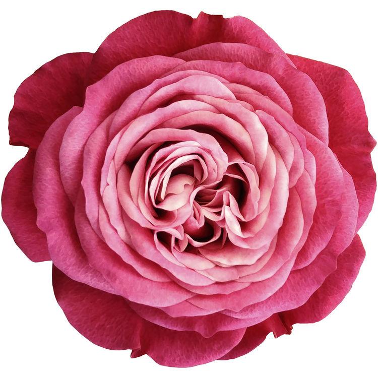 Hot Pink Rose 2