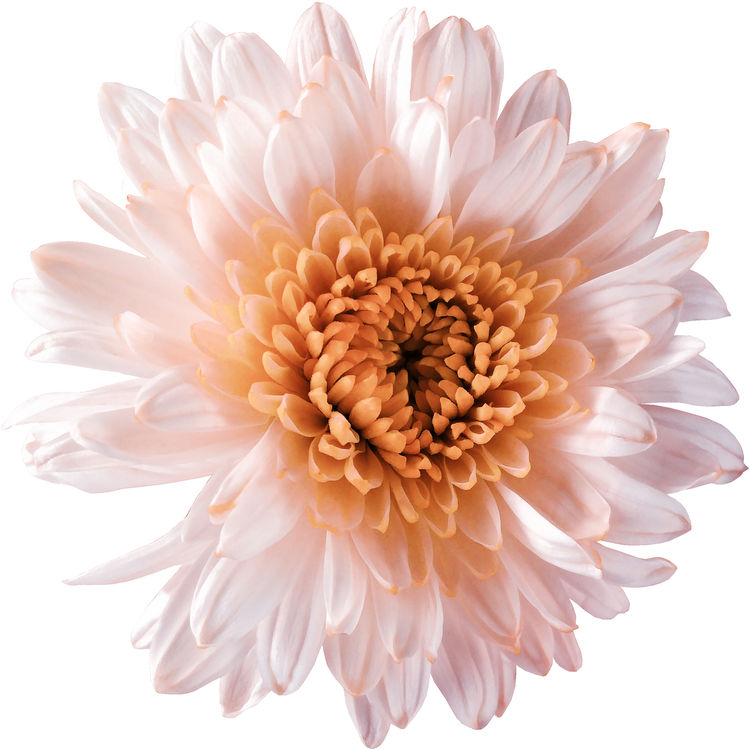 Light Peach Chrysanthemum