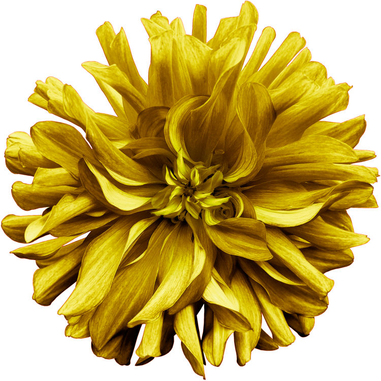 Mustard Yellow Dahlia