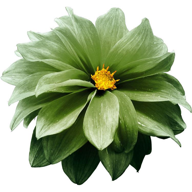 Olive Green Dahlia