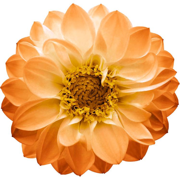 Soft Orange Dahlia