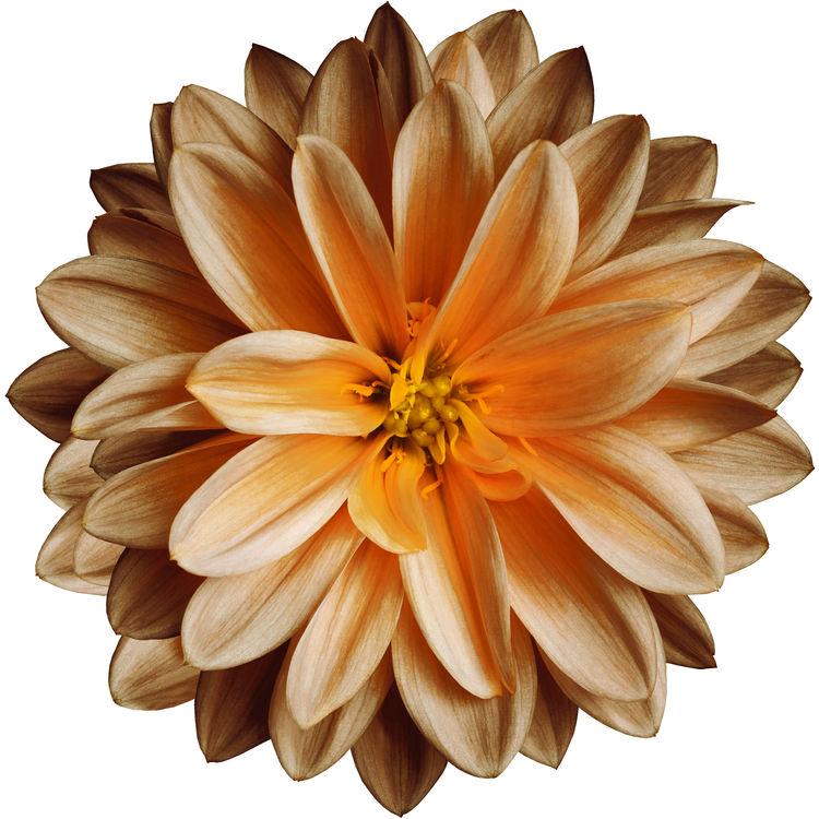 Peach Chrysanthemum