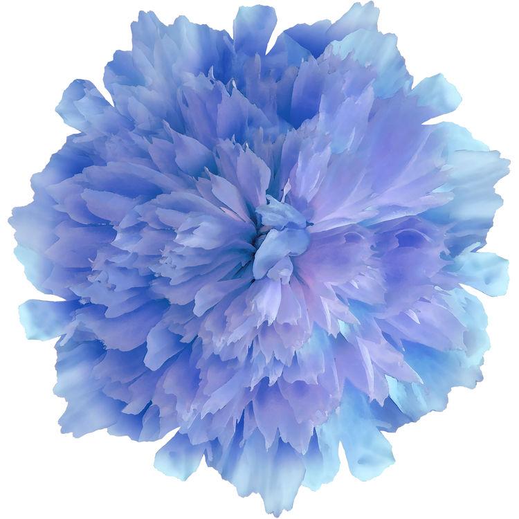Blueberry Candy Peony