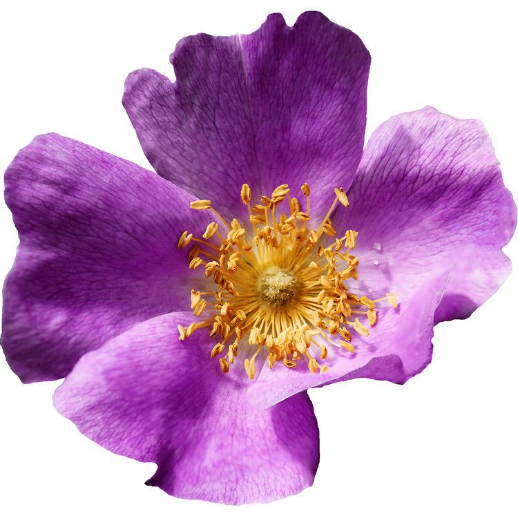 Purple Jasmine Peony