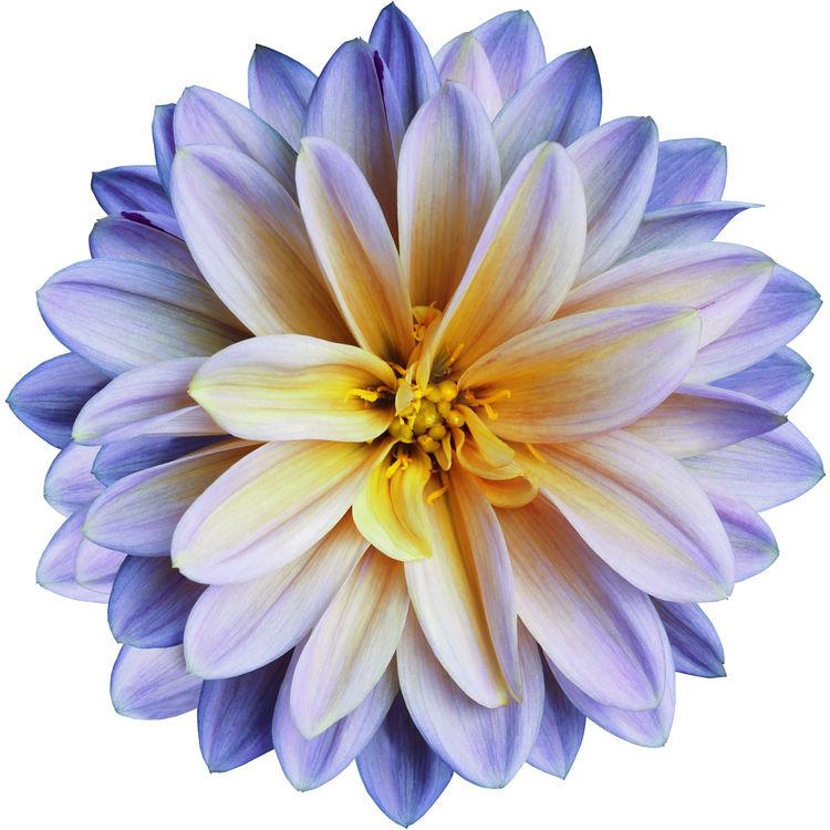 Purple and Yellow Chrysanthemum