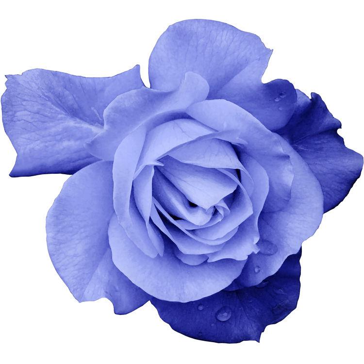 Deep Lavender Rose