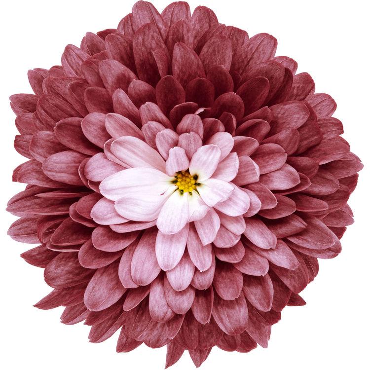 Indian Red Chrysanthemum