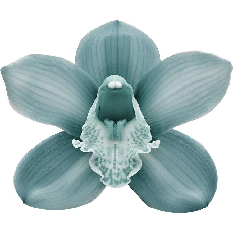 Sage Blue Orchid