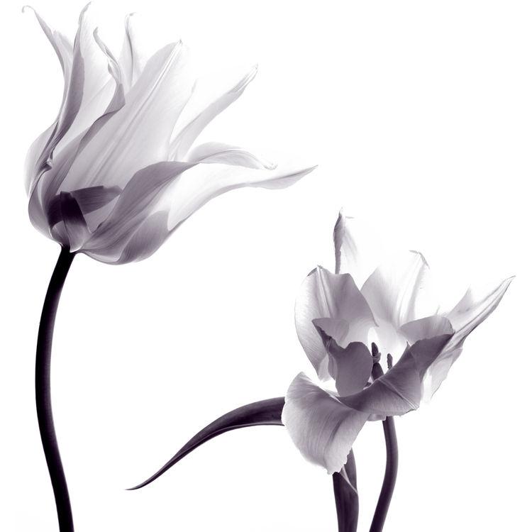 Gray Delicate Tulips