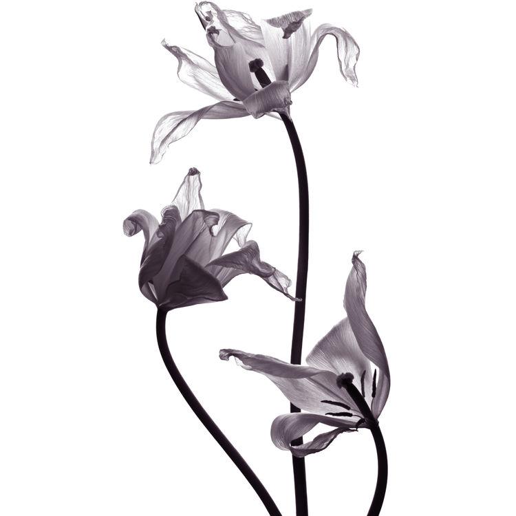 Three Dancing Tulips