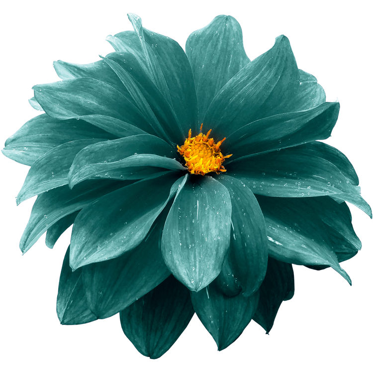 Turquoise Petaled Dahlia