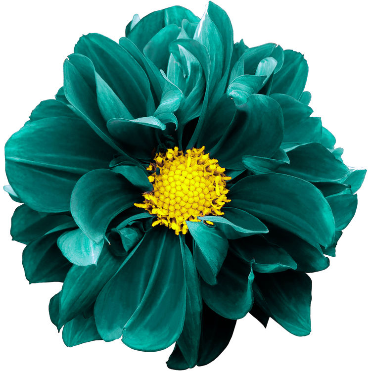 Turquoise and Yellow Dahlia