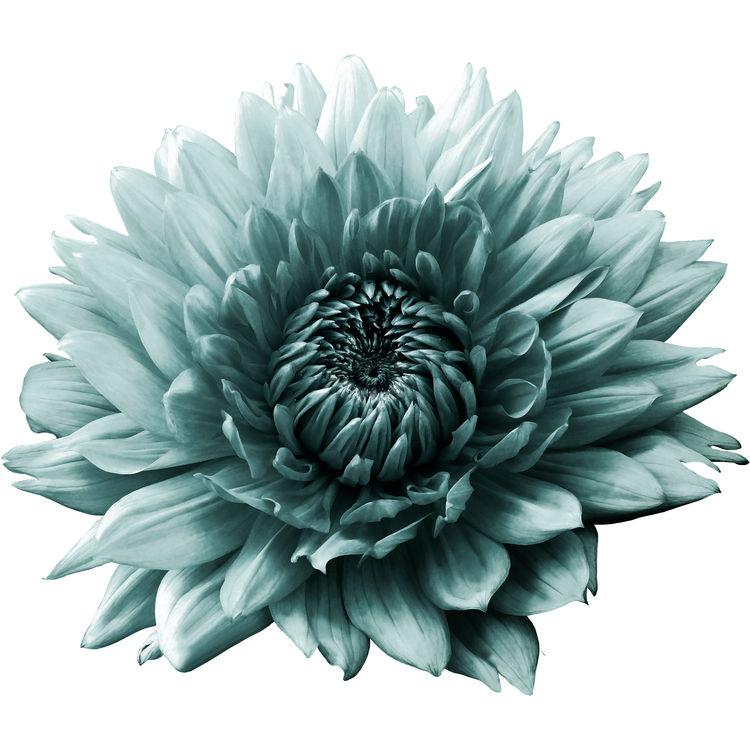 Soft Turquoise Dahlia