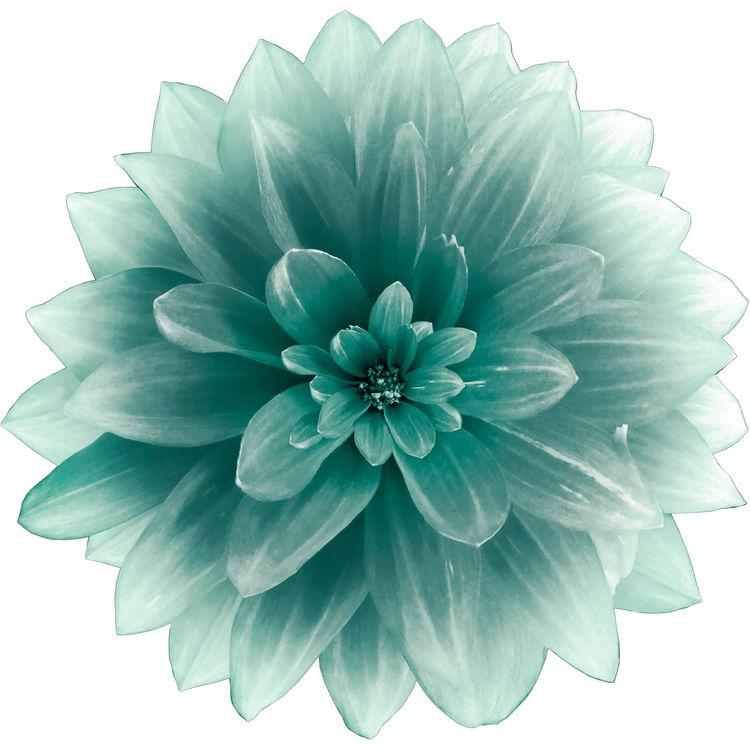 Sweet Turquoise Dahlia