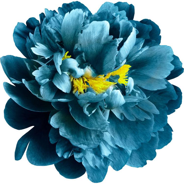 Royal Blue and Yellow Peony