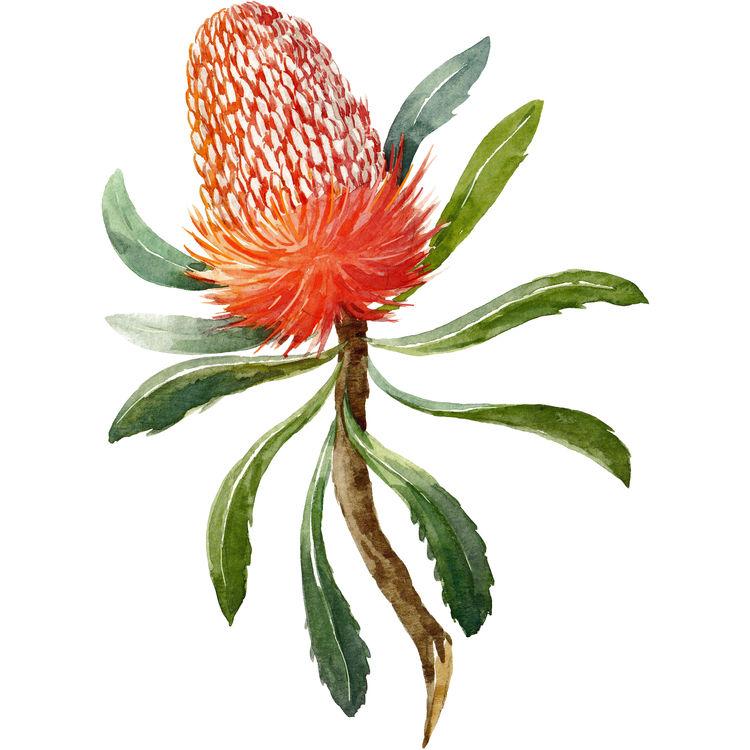 Orange Banksia