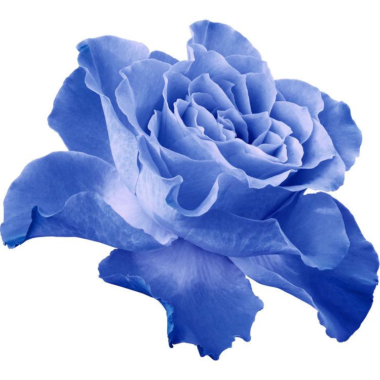 Sky Blue Rose