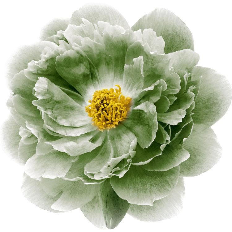 Watercolor Sage Green Peony