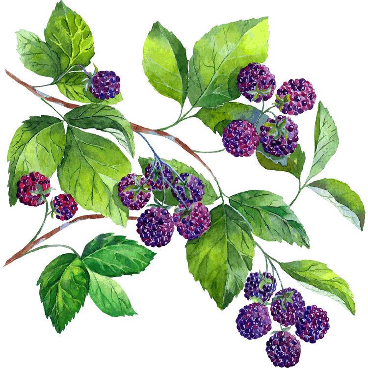 Watercolor Blackberry