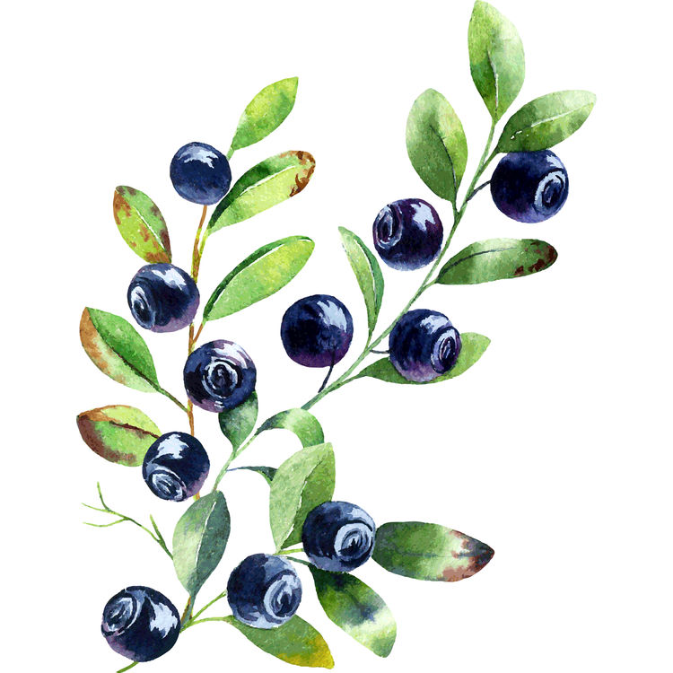 Watercolor Blueberry Branch