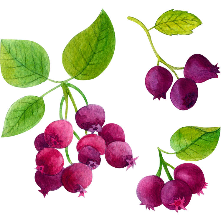 Watercolor Shadberries