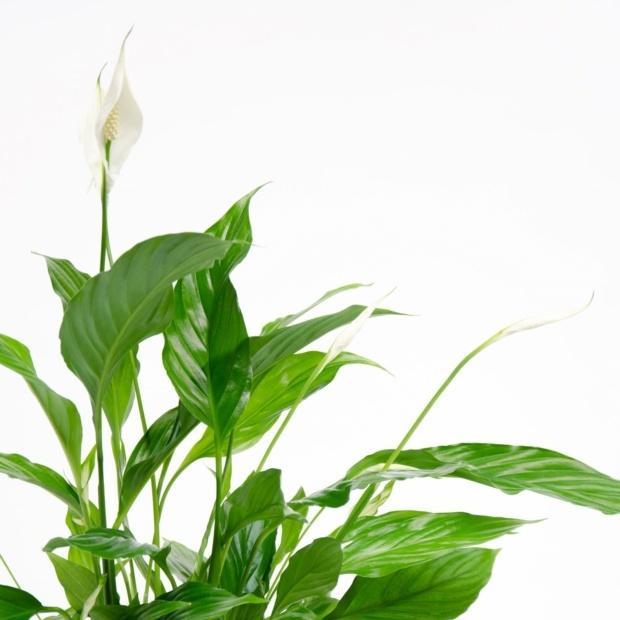 Delicate white flowering houseplant