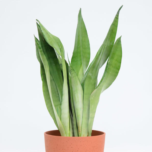 Houseplant with long thin leaves shooting up out of a terracotta pot