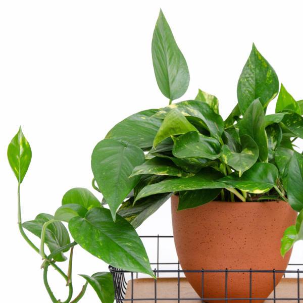 Lush leafed houseplant sat in terracotta pot