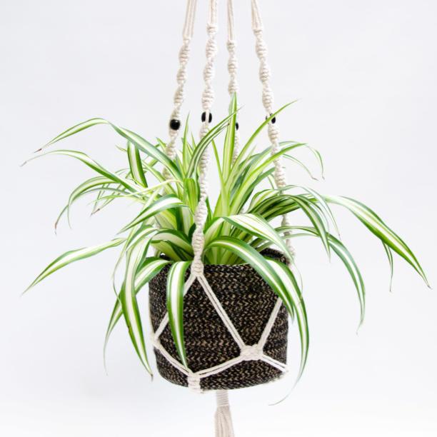Variegated houseplant in macrame hanger