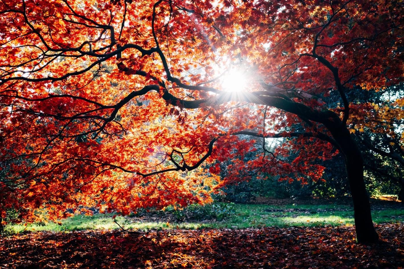 Sunshine peeking through boughs of tree covered in orange autumn leaves