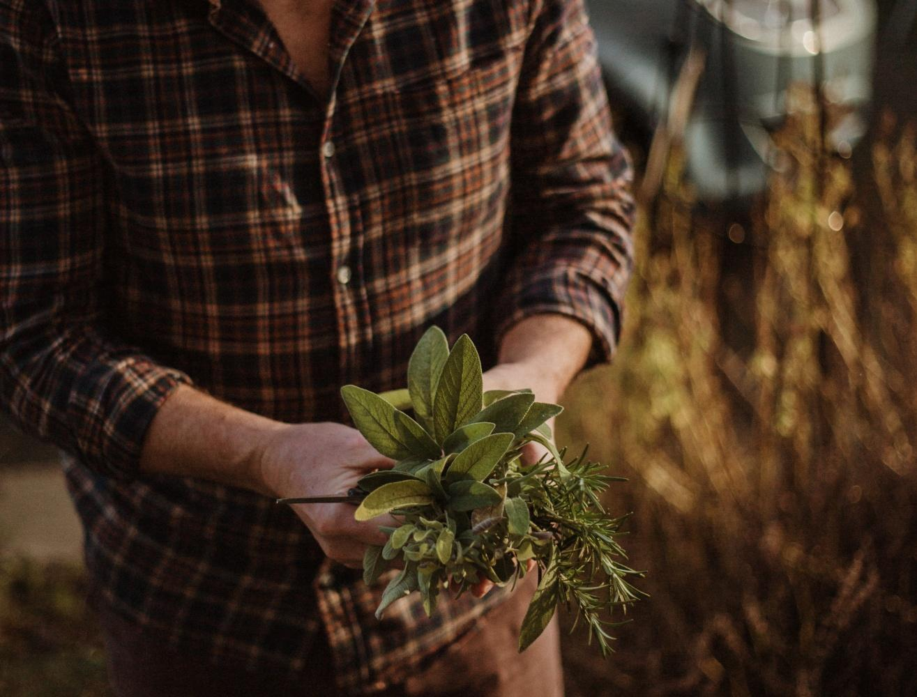 A person in a checked button down shirt holds a cluster of herbs in their hands. Grass is in the background and the light is hazy, like sunset. Be inspired to grow your own in a victory garden at home.