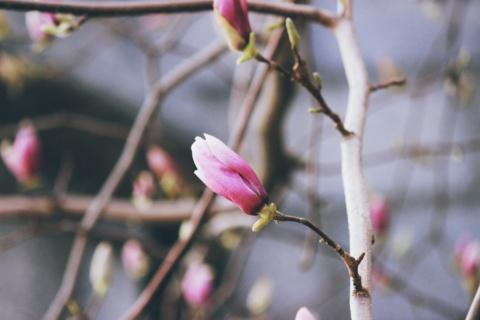 Close up on magnolia flower in bloom on tree
