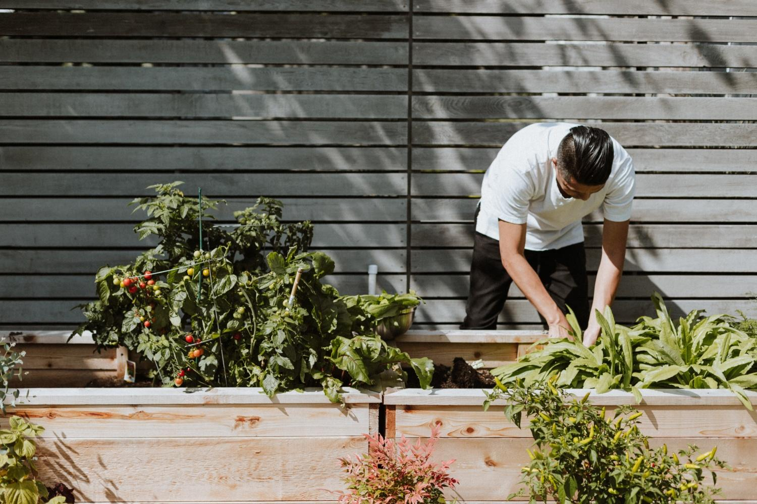 A person bends over a raised bed in front of a tall horizontal wooden fence, tending to plants. Ripe cherry tomatoes can be seen hanging from the plant on the left.