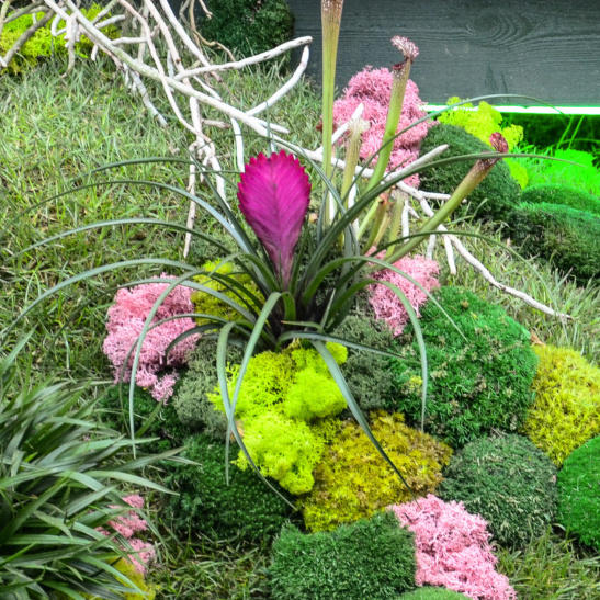 Houseplant pictured in moss bound with pink fan like flower or bract