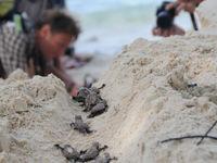 Een handje helpen kan nooit kwaad, en deze jonge zeeschildpadjes kunnen dat alleen maar beamen. © Heritage Expeditions