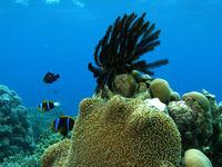 Anemoonvissen bewaken hun territorium aan een koraalrichel. © Heritage Expeditions
