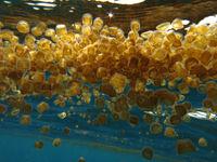 Een school kleine kwalletjes steigt naar de oppervlakte om zich tegoed te doen aan plankton. © Heritage Expeditions