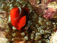 Een van de talrijke anemoonvissen die we waarnemen tijdens het snorkelen.  © Heritage Expeditions