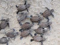 Jonge zeeschildpadjes komen net vanonder het zand tevoorschijn. © Heritage Expeditions