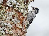 Een mannetje drieteenspecht is nergens een algemene vogelsoort. Ze zijn altijd  een indicatie voor prachtige, natuurrijke bossen. © STARLING reizen