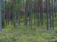 Een droog dennenbos op zandige duinen, een typische vegetatie van het noorden van het land. © STARLING reizen