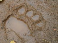 Een pootafdruk van een bruine beer in de modder. © STARLING reizen