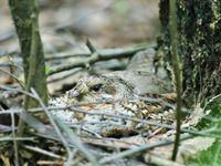 Een vrouwtje hazelhoen op het nest. © STARLING reizen