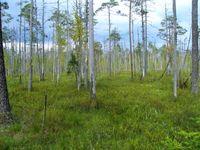 Een verdronken dennenbos is de ideale plek om uilen te zien die jagen op open plekken. © STARLING reizen