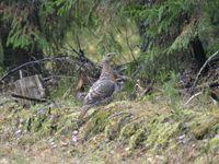 Een vrouwtje auerhoen verschijnt plots uit de bosrand. © STARLING reizen