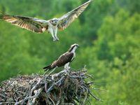 Een koppel visarenden nabij het nest. © STARLING reizen