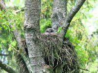Een Laplanduil kijkt uit het nest. © STARLING reizen