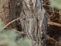 En février il est aussi possible de trouver le petit-duc de Bruce, un rare hivernant... © Noé Terorde